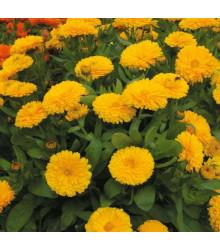 Nechtík lekársky žltý - Calendula officinalis - semená - 30 ks