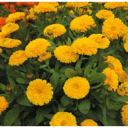 Nechtík lekársky žltý - Calendula officinalis - semená nechtíka - semiačka - 30 ks
