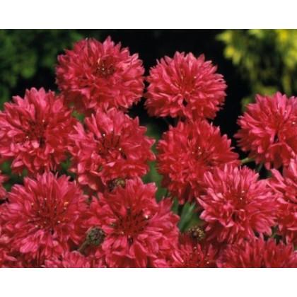 Nevädza poľná červená - Centaurea cyanus - semená - 100 ks