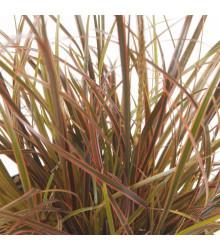 Okrasná tráva - Uncinia egmontiana - semená okrasnej trávy - 5 ks