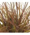 Okrasná tráva - Uncinia egmontiana - semená trávy - semiačka - 5 ks