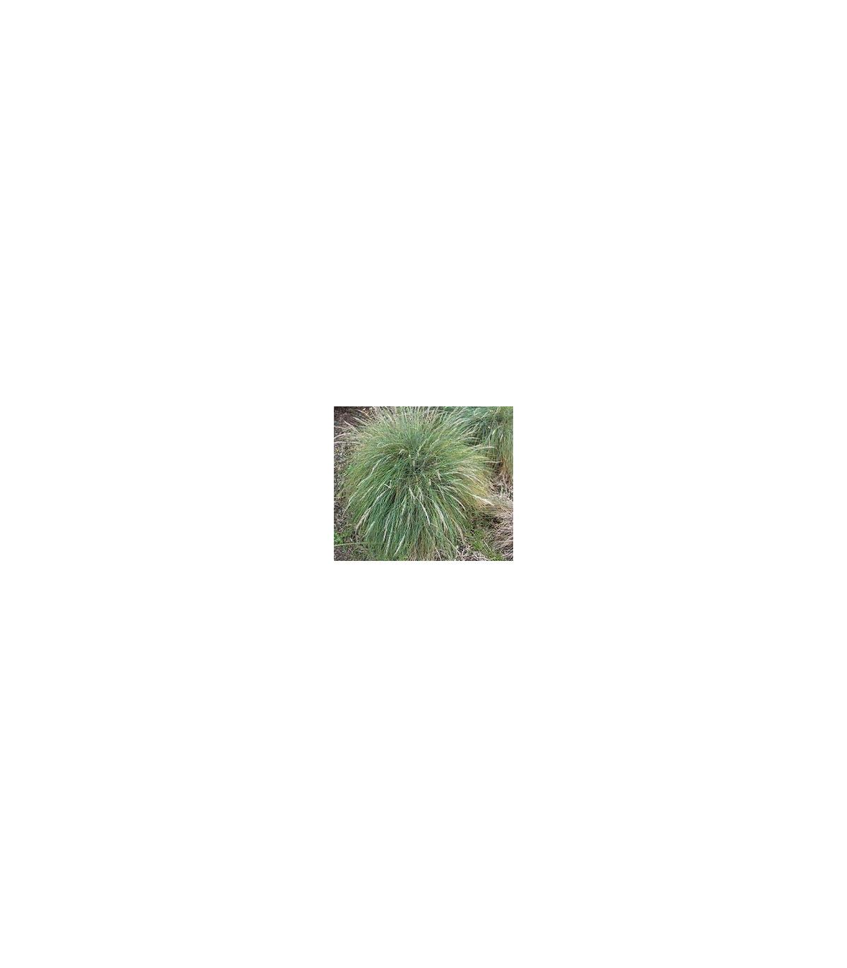Okrasná tráva Kostrava - Festuca coxii - semená trávy - semiačka - 5 ks