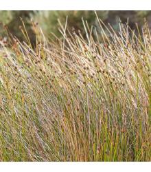Ozdobná tráva Ficinia nodosa - semená trávy - semiačka - 10 ks