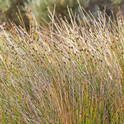 Ozdobná tráva - Ficinia nodosa - semená okrasnej trávy - 10 ks