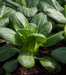Pak Choi Hanakan F1 - ázijská zelenina - semená - semiačka - 0,2 gr