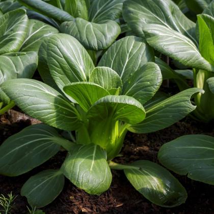 Pak Choi Hanakan F1 - Brassica rapa var rosularis - semená - 70 ks