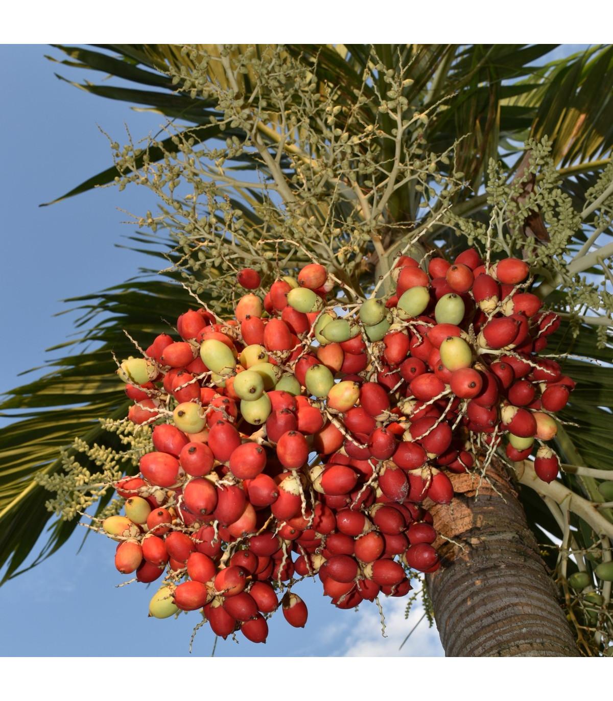 Palma Carpentaria acuminata - semená palmy - semiačka - 4 ks