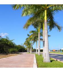 Palma kráľovská kubánska - Roystonea regia - semená - 3 ks