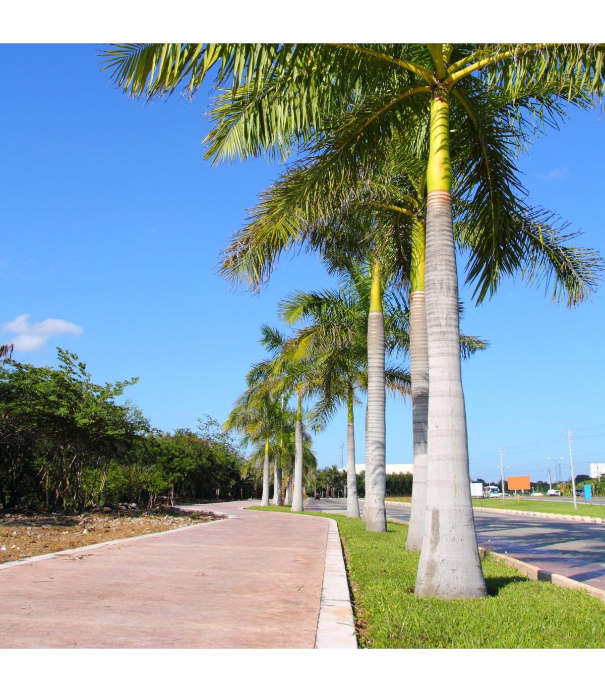 Palma kráľovská kubánska - Roystonea regia - semená palmy - semiačka - 3 ks