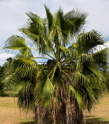 Palma Washingtonia vláknitá - Washingtonia filifiera - semená - 3 ks