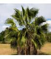 Palma Washingtonia vláknitá - Washingtonia filifiera - semená palmy - semiačka - 3 ks