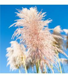 Pampová tráva ružová - Pampas - Cortaderia selleona - semená trávy - semiačka - 10 ks