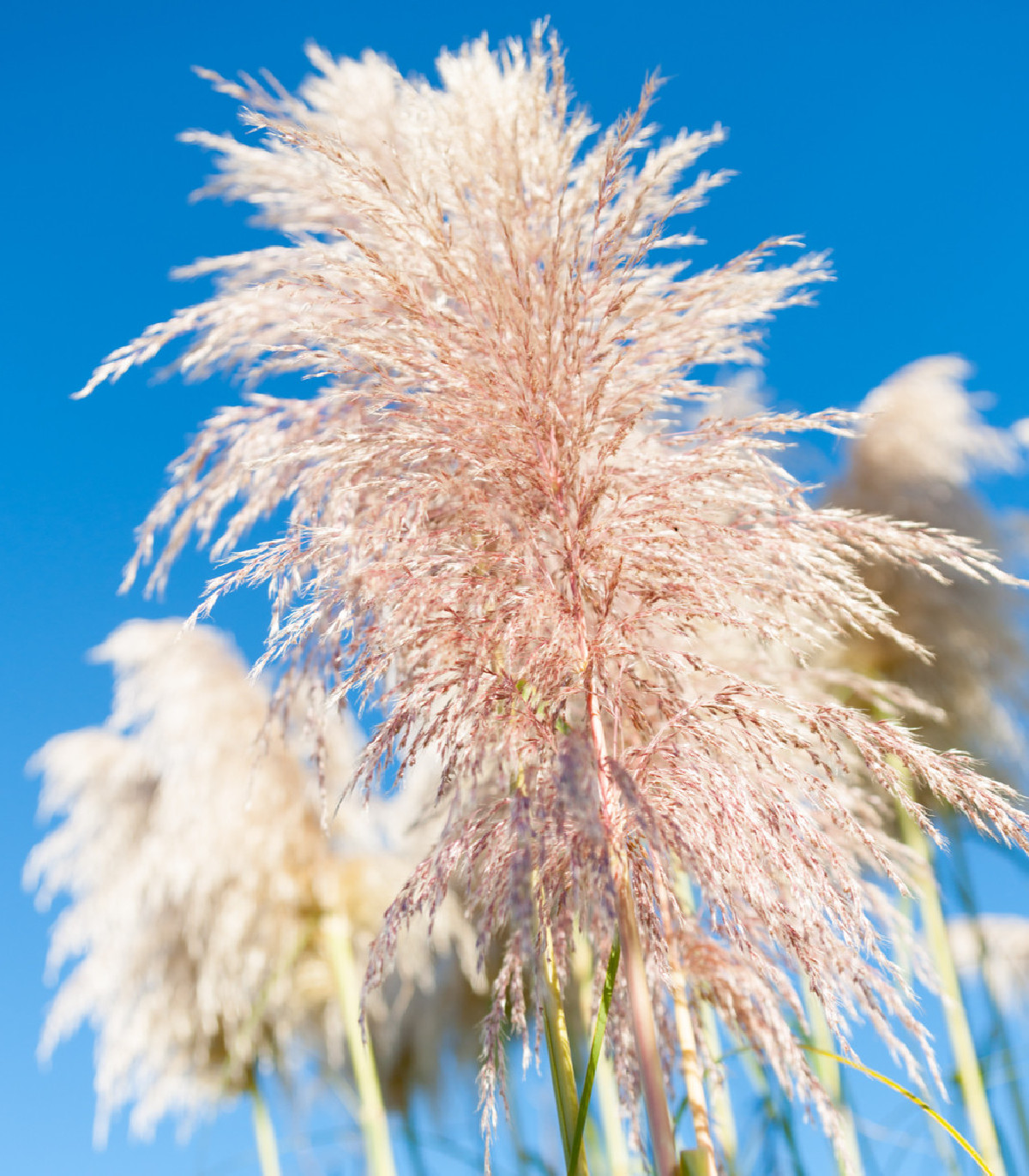 Pampová tráva ružová - Pampas - Cortaderia selleona - semená pampovej trávy - 10 ks