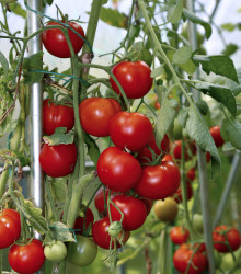 Paradajka koktejlová Cerice - Lycopersicon Esculentum - rajčiak - semená - 10 ks