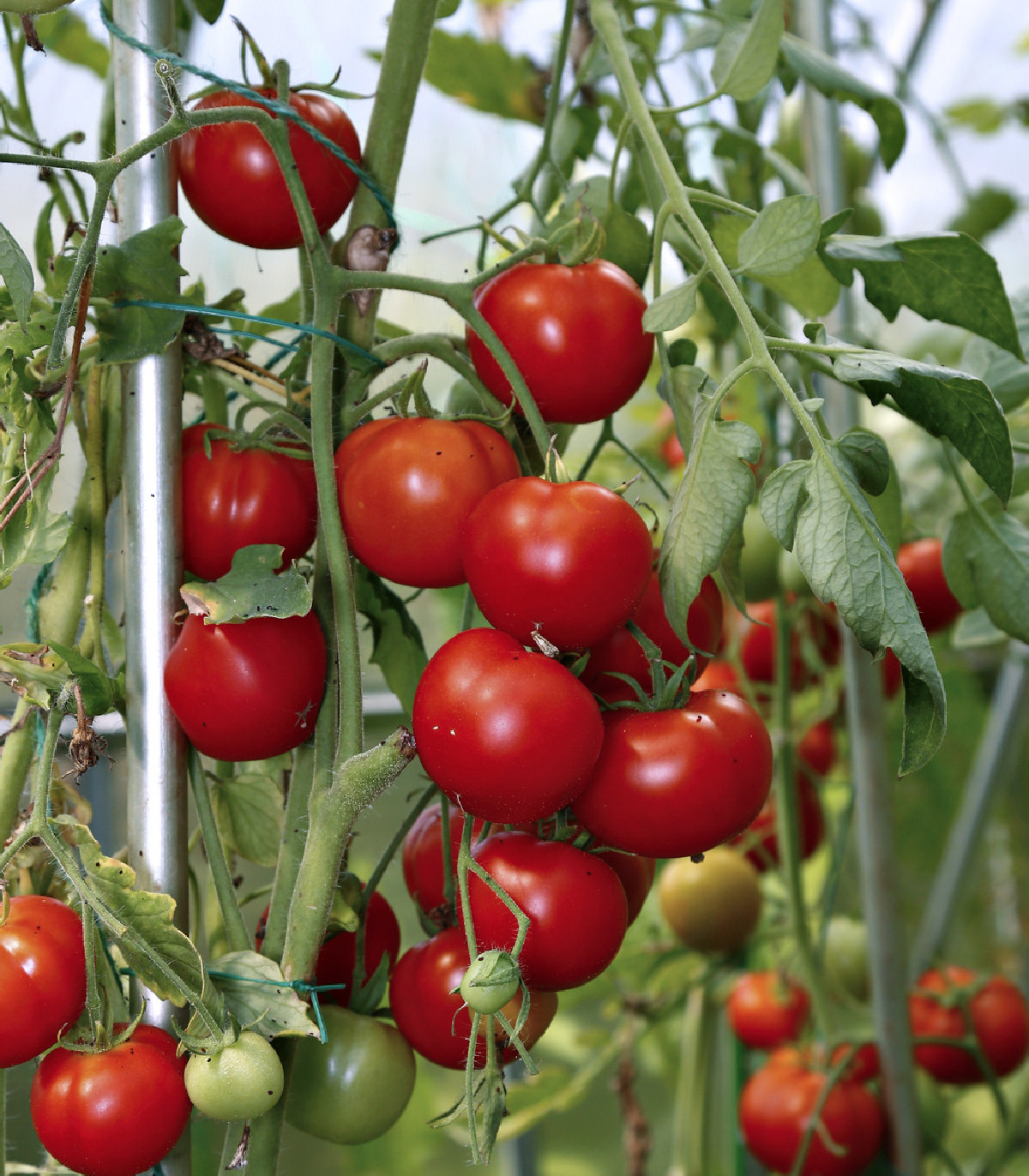 Paradajka Cerice koktejlová - Lycopersicon Esculentum - semená paradajky - semiačka - 10 ks