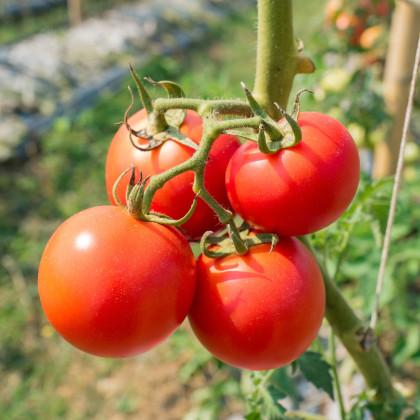 Paradajka kerová Karkulka - semená paradajky - semiačka - 20 ks