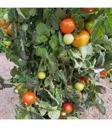 Paradajka kríčková Rentita - Lycopersicon esculentum - rajčiak - semená - 15 ks