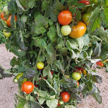 Paradajka kríčková Rentita - semená paradajky - semiačka - 15 ks