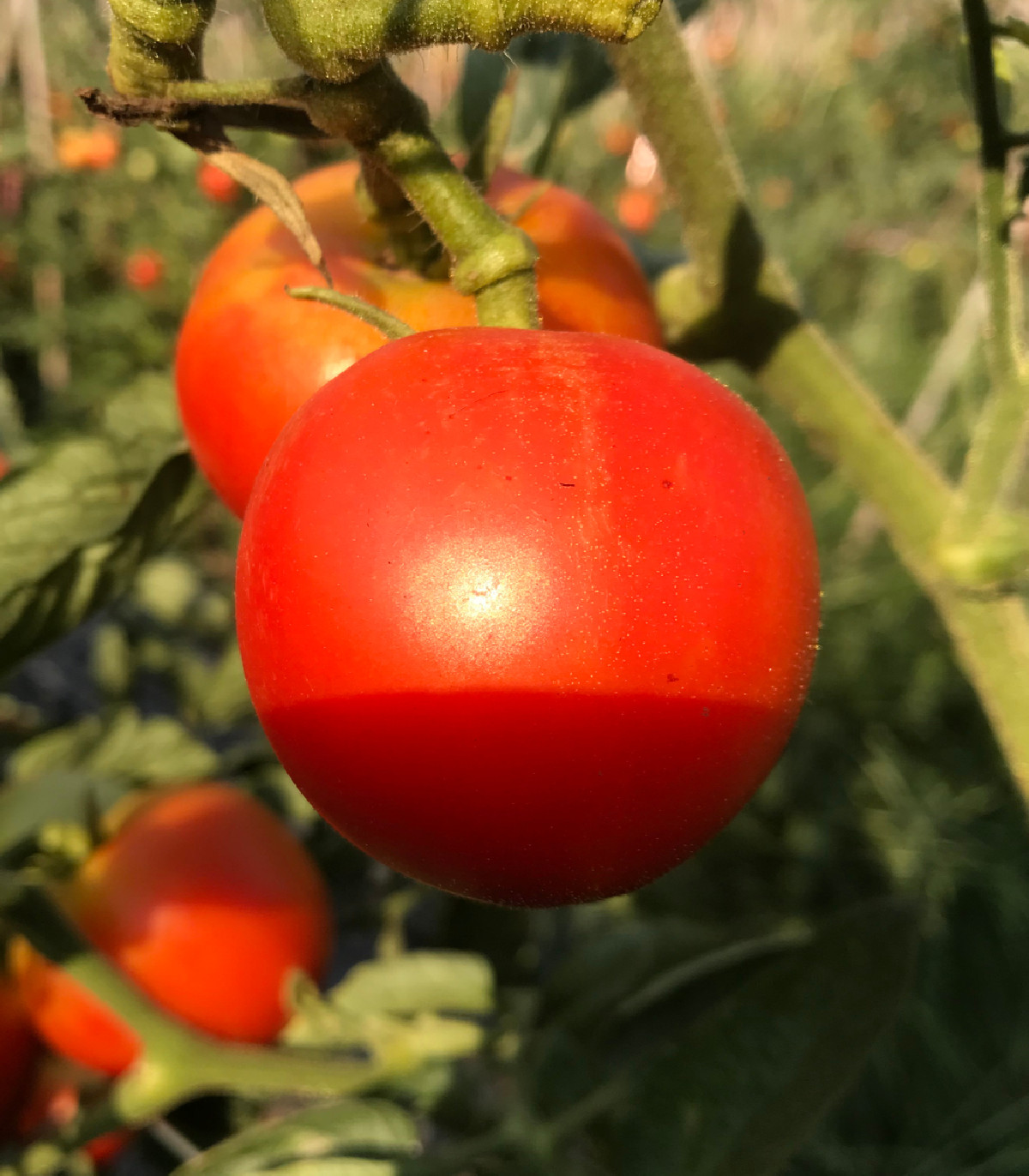 Paradajka kolíková F1 Harzfeuer - semená paradajky - semiačka - 6 ks