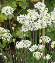 Pažítka cesnaková - Allium Tuberosum - semená - 200 ks