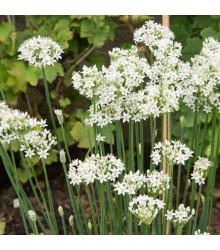 Pažítka cesnaková - Allium Tuberosum - semená pažítky - semiačka - 200 ks