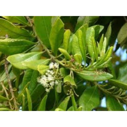 Pimentovník lekársky - Pimenta dioca - Nové korenie - semená pimentovníka - semiačka - 4 ks