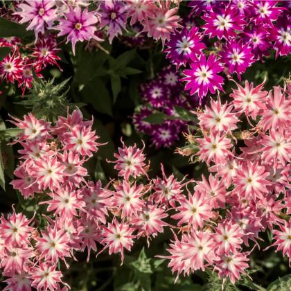 Plamienka Drummondova vysoká - zmes farieb - Phlox drum. - semená plamienky - semiačka - 0,2 gr