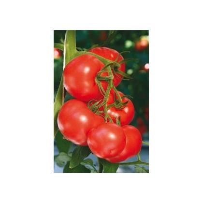 Rajčiak kolíkový hybridný Virginia F1 - semená rajčiaka - semiačka - 5 ks