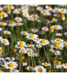 Ruman roľný - Anthemisarvensis - semená rumanu - semiačka - 0,5 gr