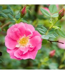 Ruža nutkanská - Rose nutkana - semená ruže - semiačka - 5 ks