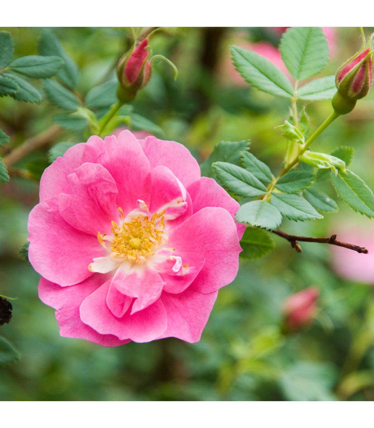 Ruža nutkanská - Rosa nutkana - semená ruže - 5 ks