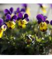Fialka rohatá Johnny Jump - Viola cornuta - semená - 300 ks