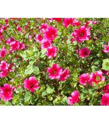 Slezovka trojklanná purpurová - Malope trifida - semená - 25 ks