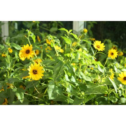 Slnečnica slabá zmes farieb - Helianthus debilis - semená slnečnice - semiačka - 7 ks