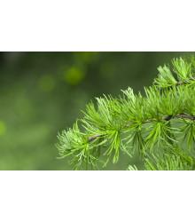 Smrekovec Gmelinov - Larix gmelinii - semená - 10 ks