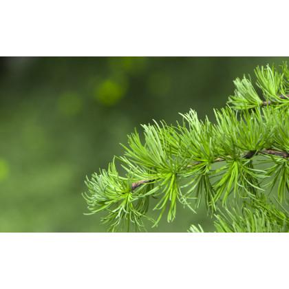Smrekovec Gmelinov - Larix gmelinii - semená smrekovca - semiačka - 10 ks