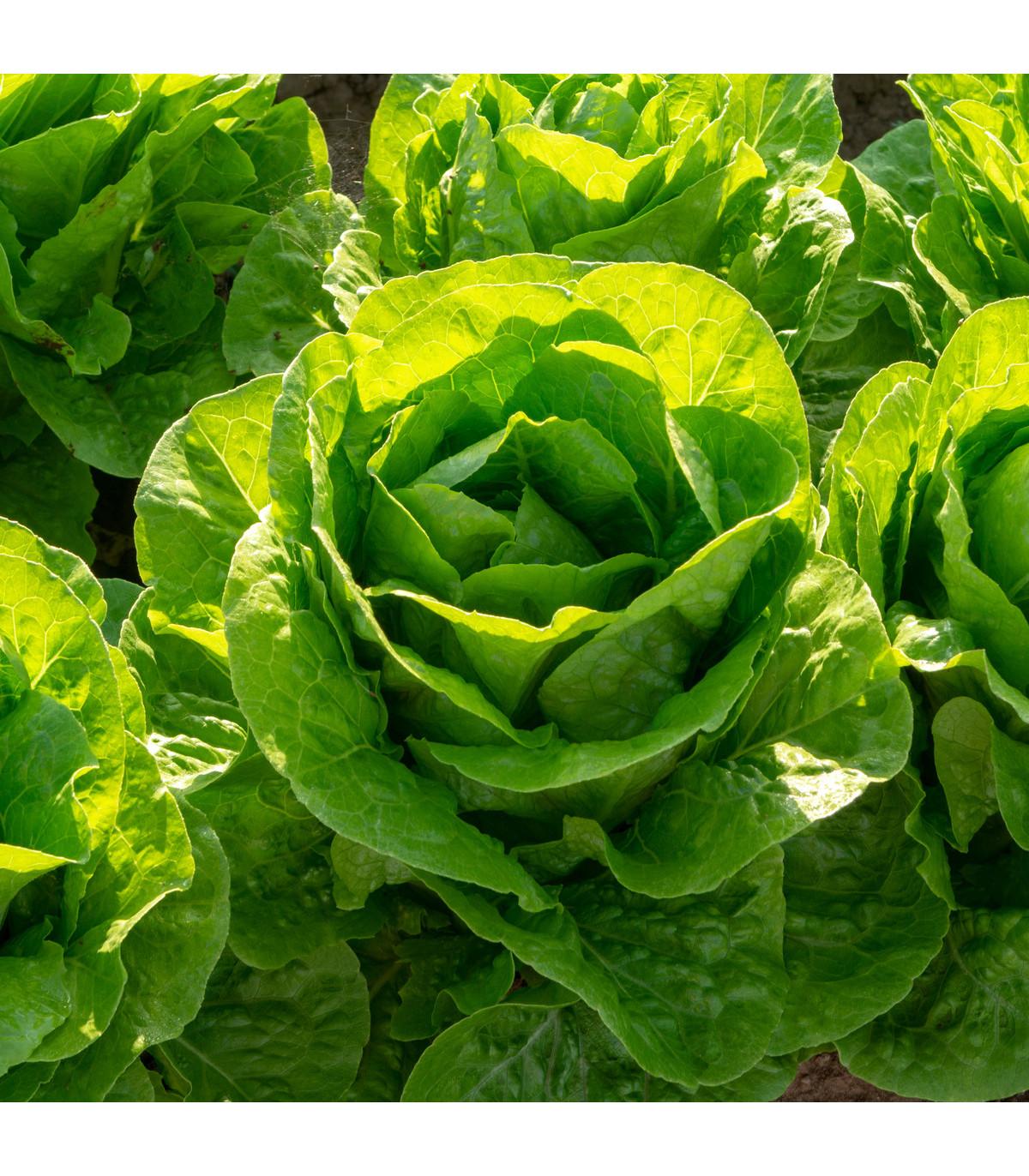 Šalát hlávkový Ovation - semená šalátu - semiačka - 0,5 gr