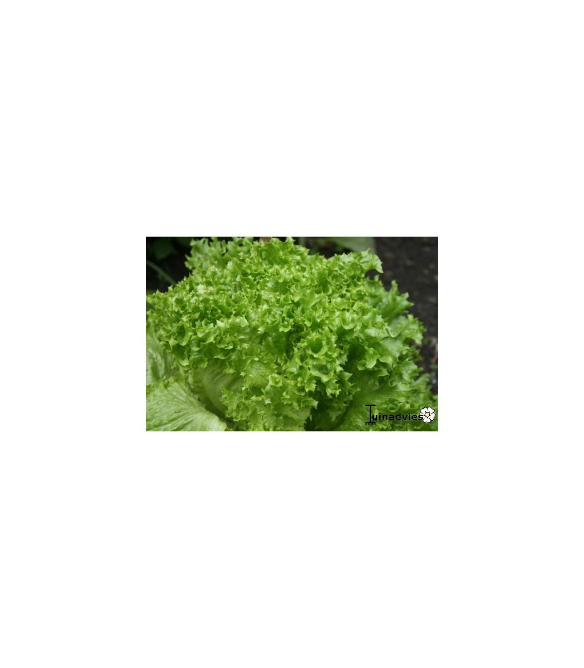 Šalát listový kučeravý Lollo Bionda - semená šalátu - semiačka - 0,5 gr