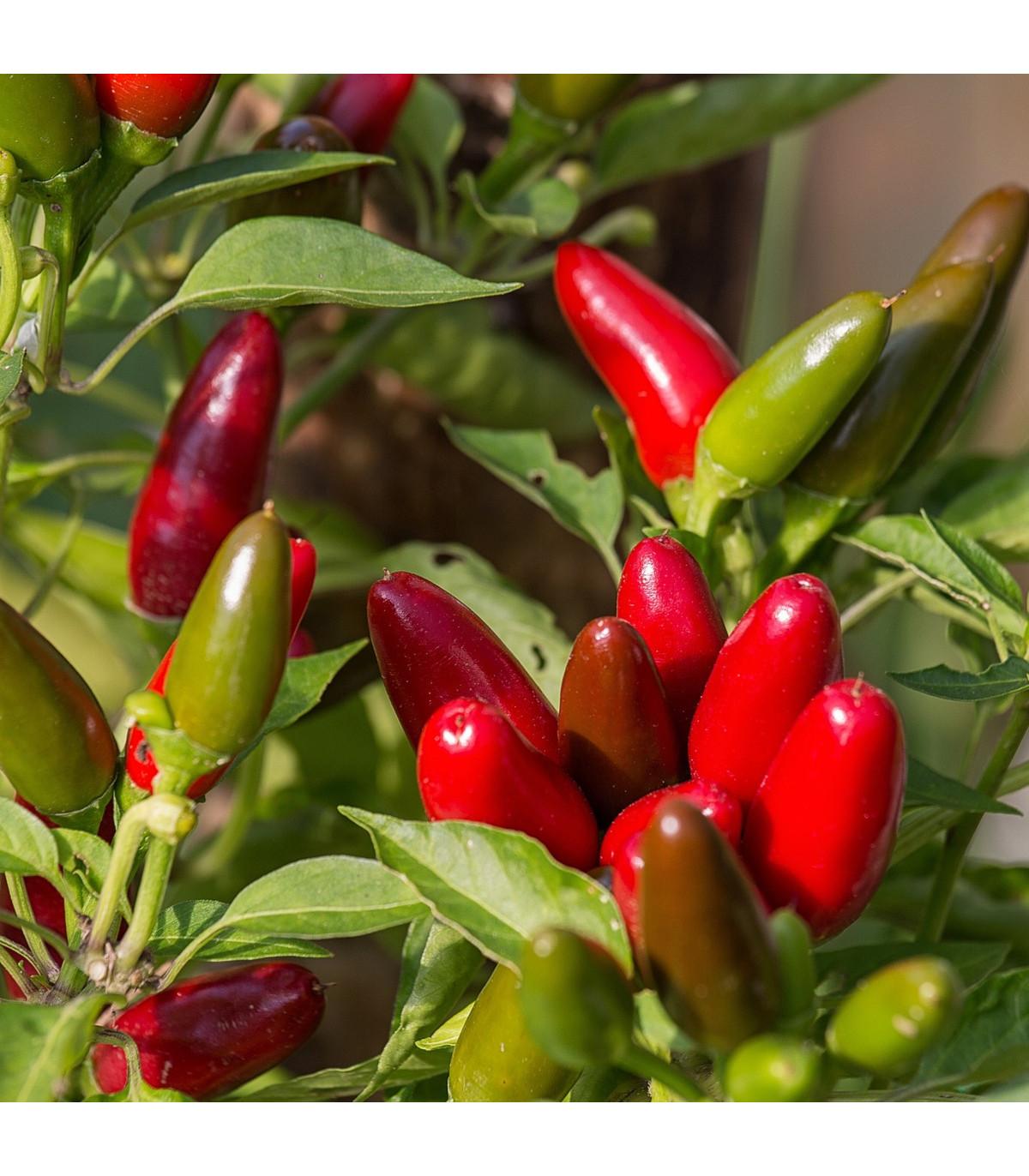 Chilli Jalapeno - Capsicum Annuum - semená - 6 ks