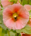 Topoľovka plnokvetá ružová Chaters - Alcea rosea - semená - 7 ks