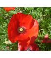 Vlčí mak červený - Papaver rhoeas - semená - 0,2 g