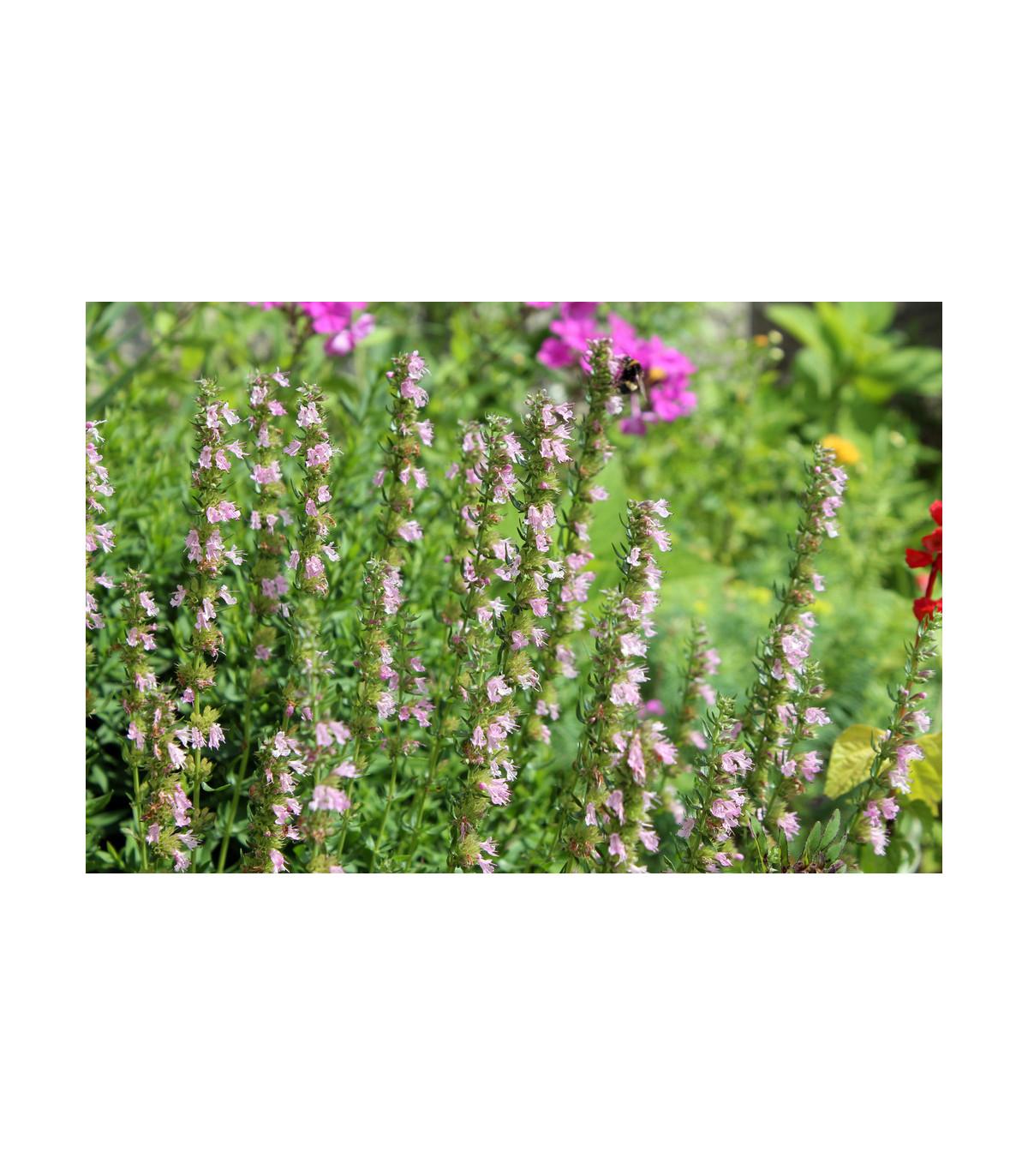 Yzop lekársky ružový - Hyssopus officinalis - semená - semiačka - 0,1 gr