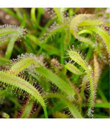 Rosička kapská - Drosera Capensis - semená - 15 ks