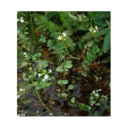Žerucha vodná potočná - Nasturtium officinale - semená žeruchy - semiačka - 0,5 gr
