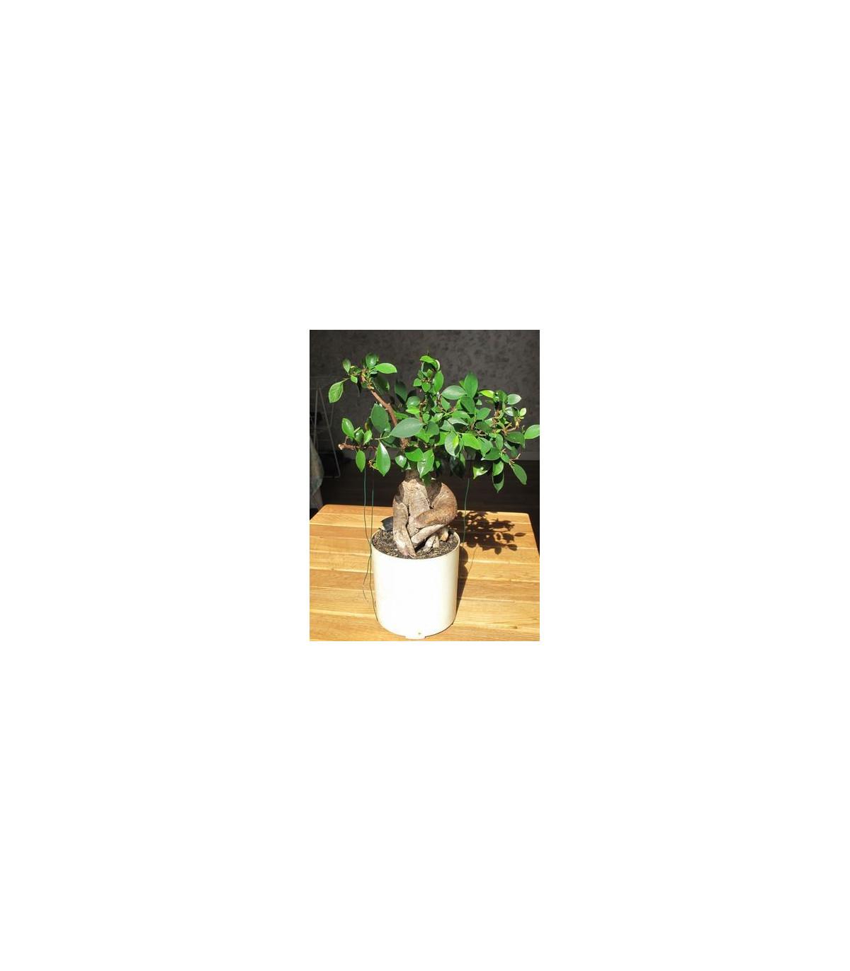 Figovník tajvanský - Ficus retusa - semená figovníka - semiačka - 5 ks