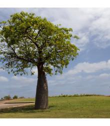 Austrálsky baobab - Adansonia gregorii - bonsaj - semená - 2 ks