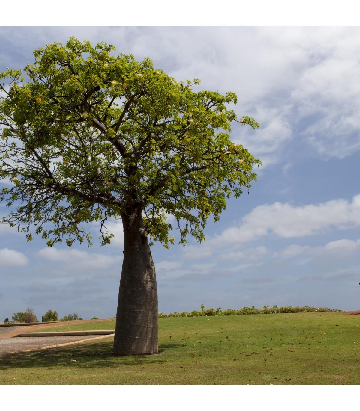 Austrálsky baobab - Adansonia gregorii - semená baobabu - semiačka - 2 ks