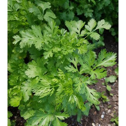 Koriander siaty Leisure - Coriandrum sativum - semená koriandra - semiačka - 100 ks