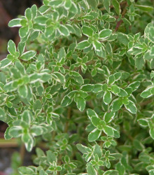 Tymián Anglická zima - Thymus vulgaris - semená - 50 ks