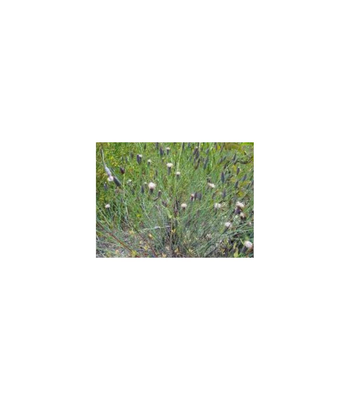 Koriander bolívijský - Porophyllum ruderale - semená koriandru - semiačka - 10 ks